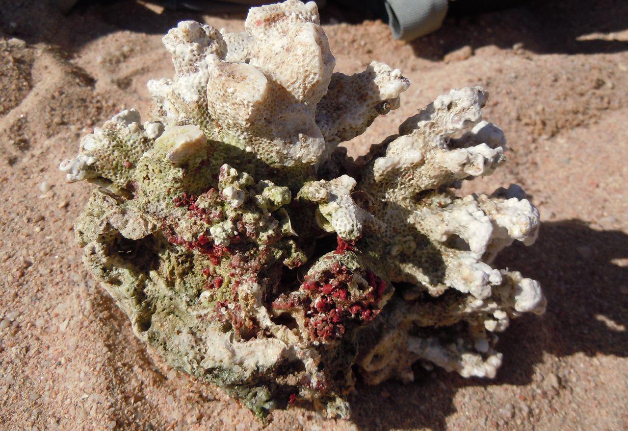 Coral din Marea Rosie