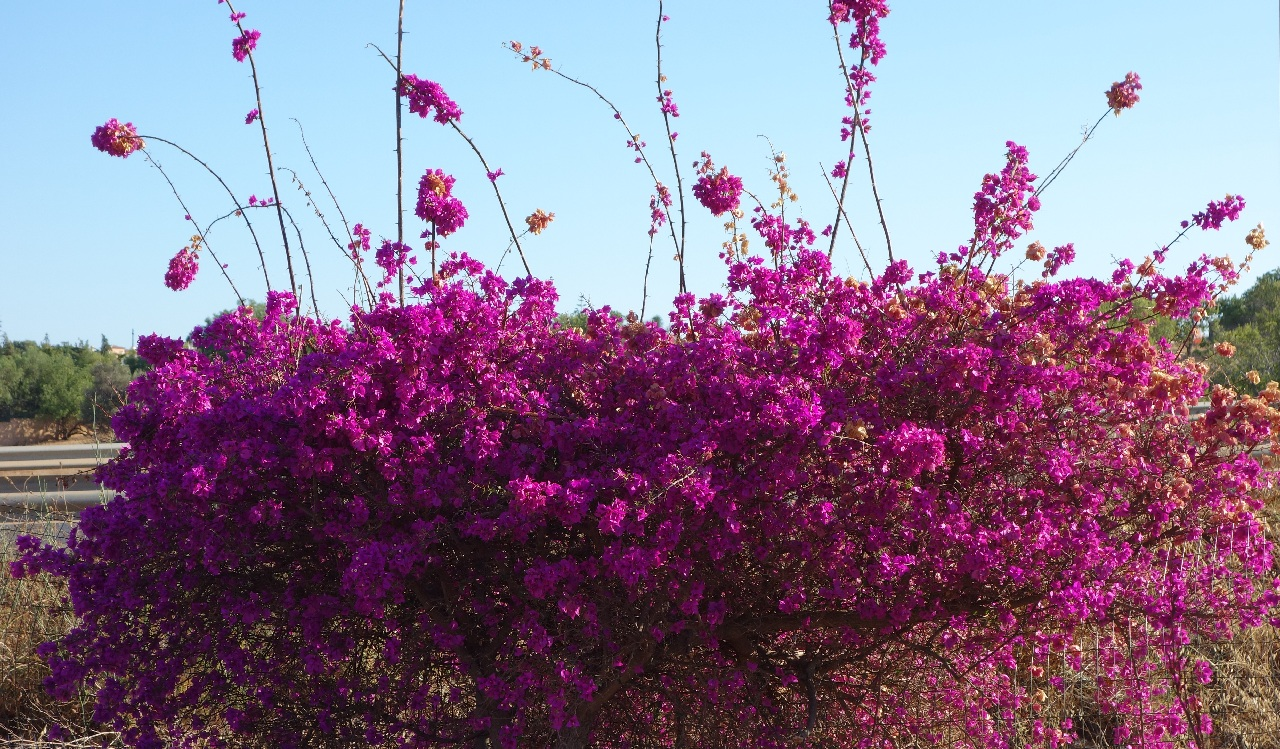 Bougainvillea in Algarve
