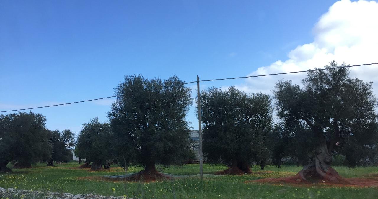 Livezi cu maslini pe marginea drumului spre Alberobello